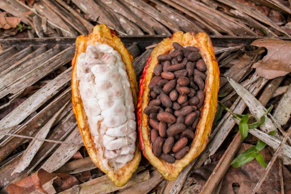 cacao22